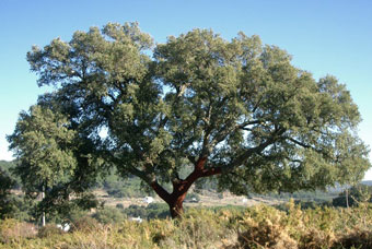 Un alcornoque - A cork oak